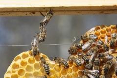 honigbienen-im-verbund-beim-wabenbau