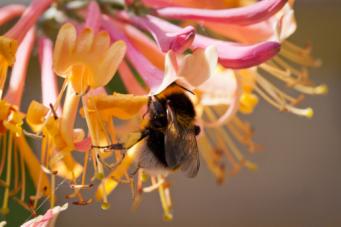 wildbiene-beim-nektarsammeln